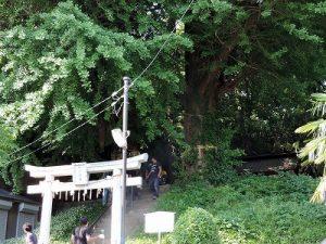 巨大な銀杏の木の奥の水神社