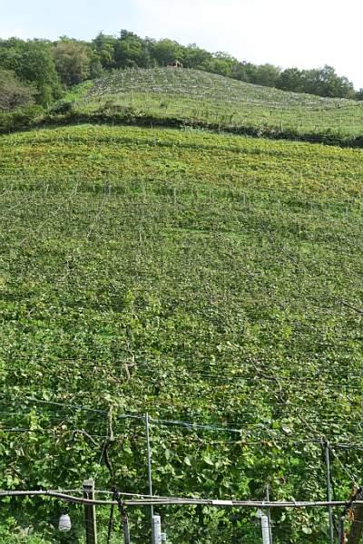 山の斜面いっぱい、頂上まで葡萄畑