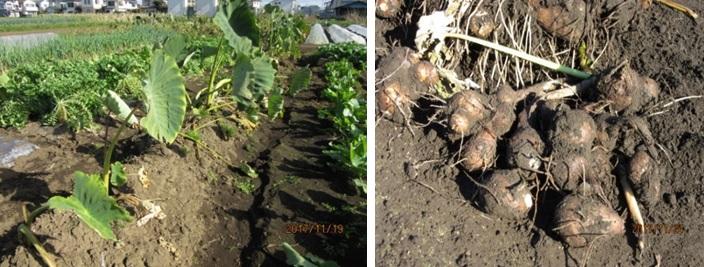 サトイモ畑(左)と掘り出されたサトイモ